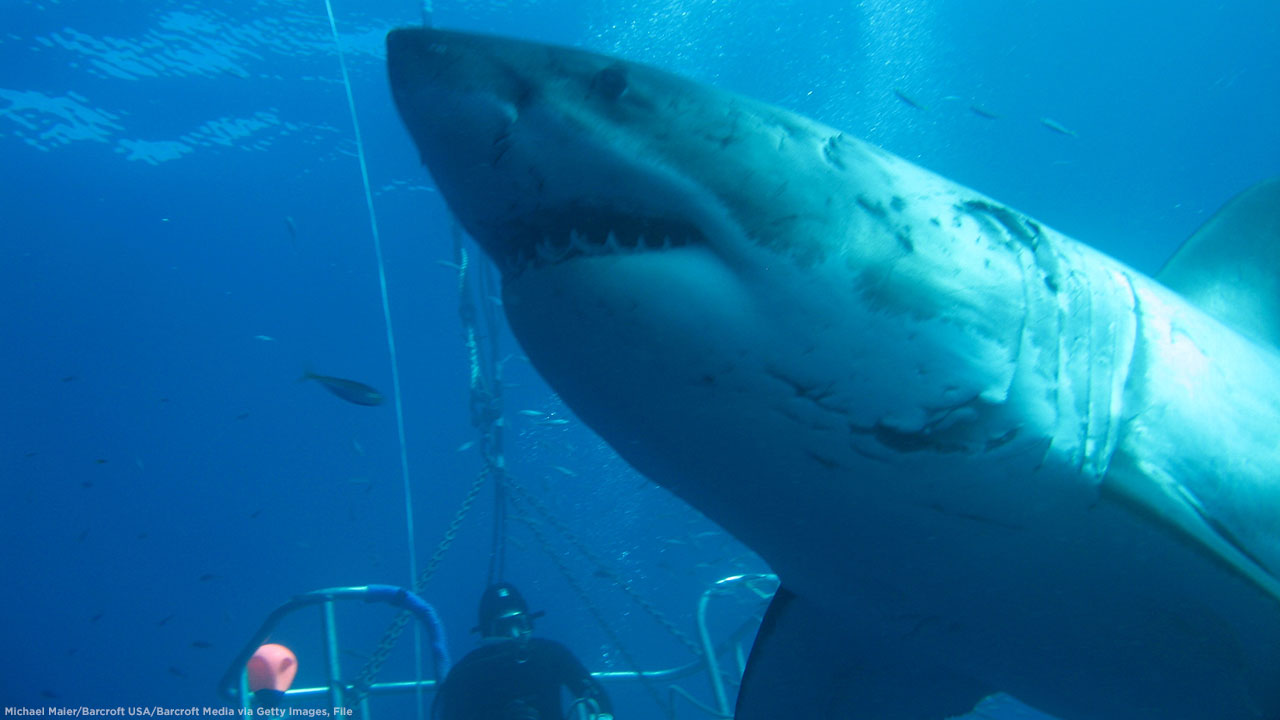 A shot of Deep Blue, the worlds biggest great white shark, on November 2013 in Guadalupe Island, Mexico.