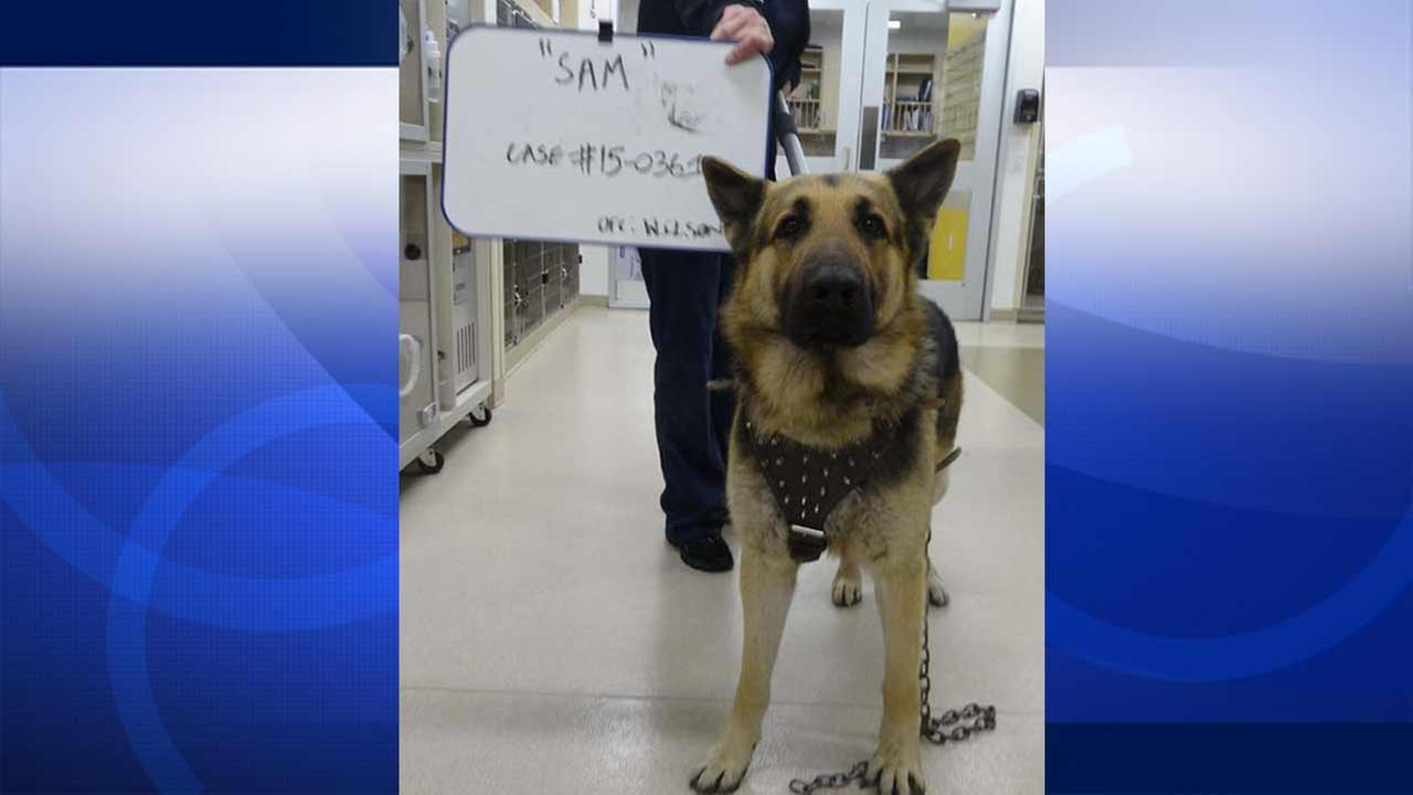 Sam, a 2-year-old German shepherd, is seen in this photo provided by the Society for the Prevention of Cruelty to Animals Los Angeles.