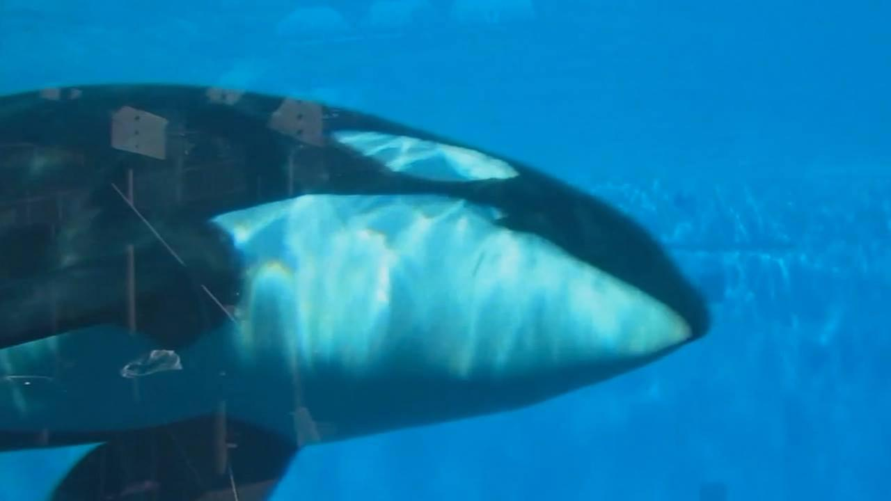 An Orca inside of tank at SeaWorld is shown in an undated photo.