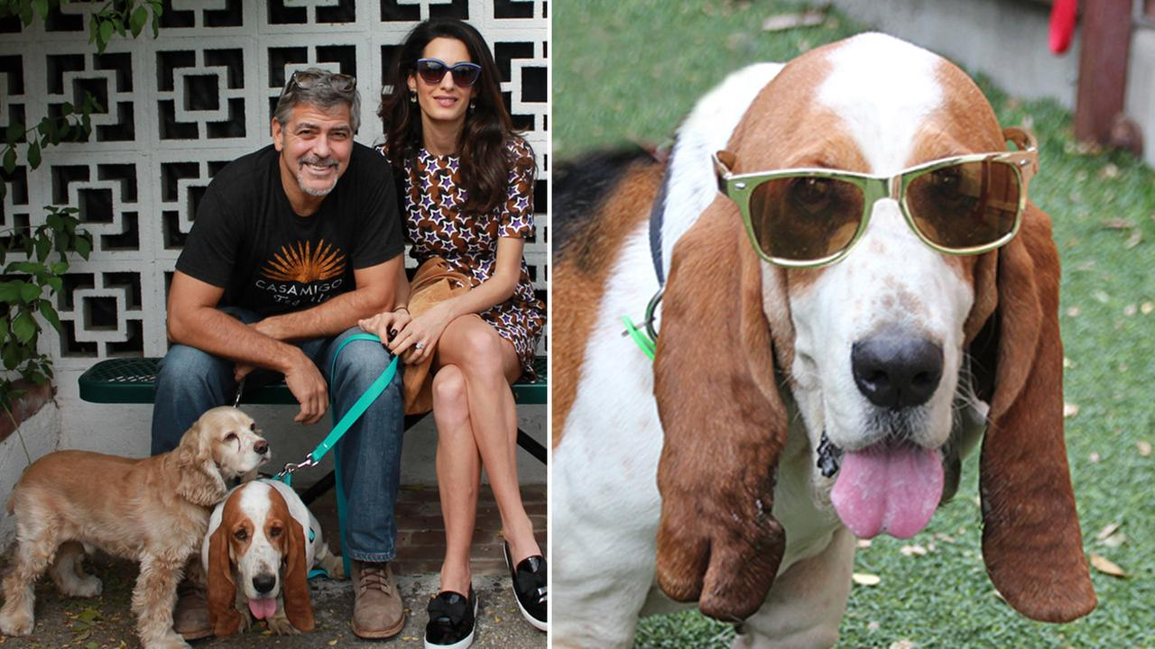George and his wife Amal pose for a photo with their dogs Millie and Louie alongside a San Gabriel Valley Humane Society photo of Millie in sunglasses.