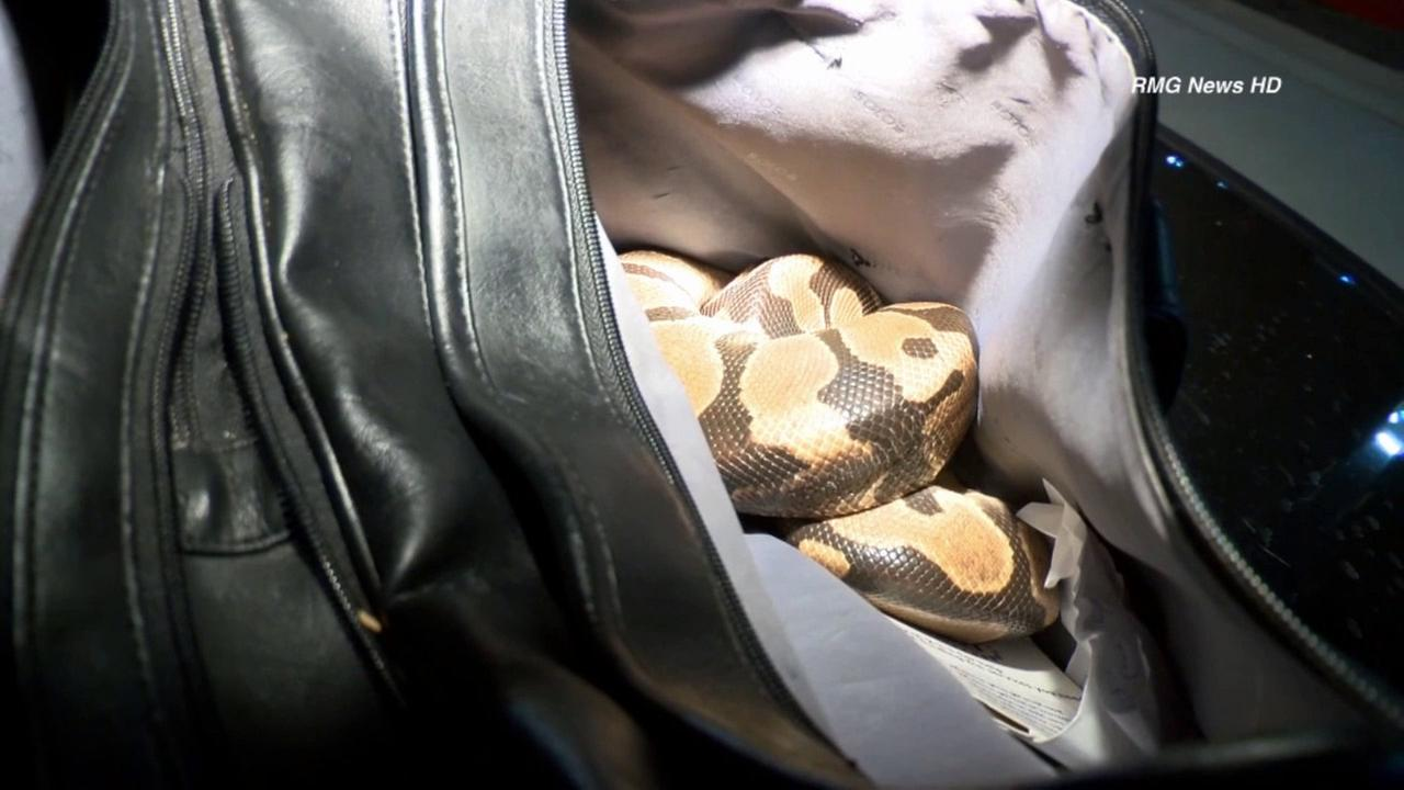 A snake was found inside a mans bag after he was knocked off his bike by a car in the Harbor Gateway area on Monday, June 10, 2014.