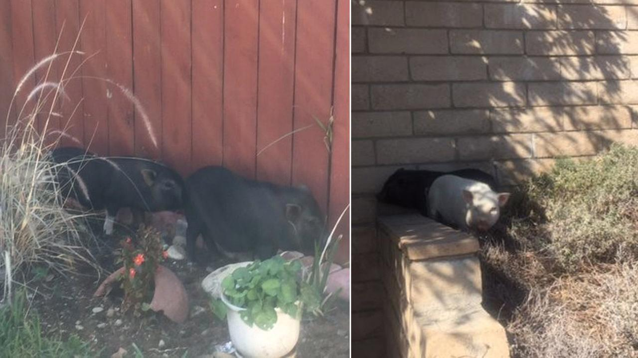 Pigs found running loose in Fontana were rescued by animal services officers on Monday, Nov. 2, 2015.