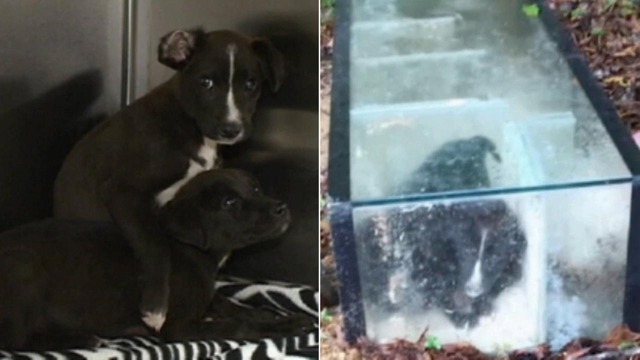 Two puppies, found trapped inside of an aquarium that was cemented shut, are shown safe in a shelter.