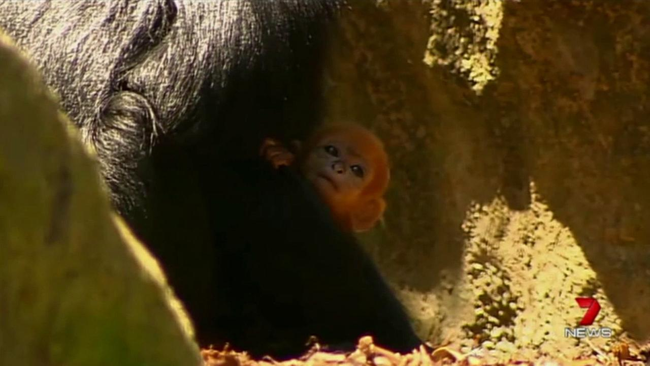 A baby Francois Langur monkey is shown holding his mother at an Australian zoo.