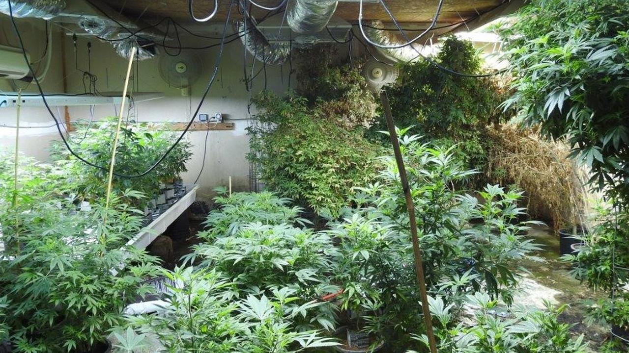 A photo shows the inside of an illegal marijuana grow in Santa Ana, which was raided on Wednesday, Dec. 9, 2015.