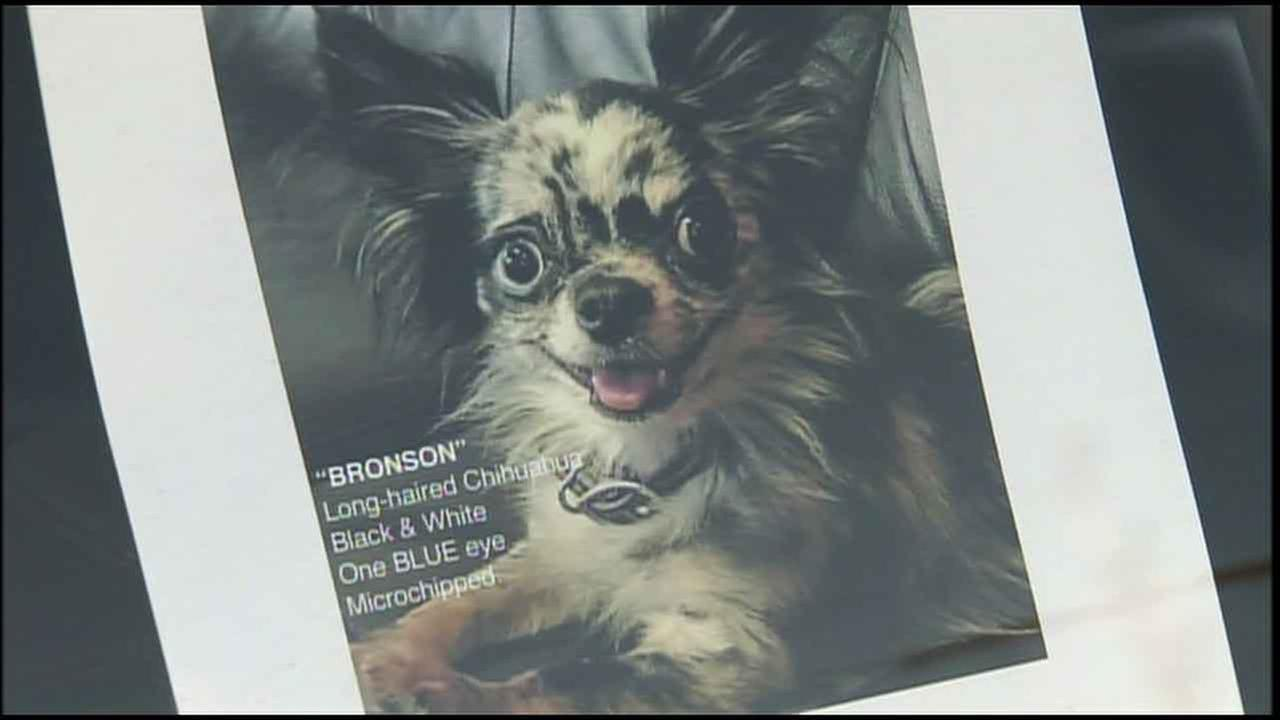 An undated photo of Bronson, a Chihuahua that went missing on Dec. 5, 2015.