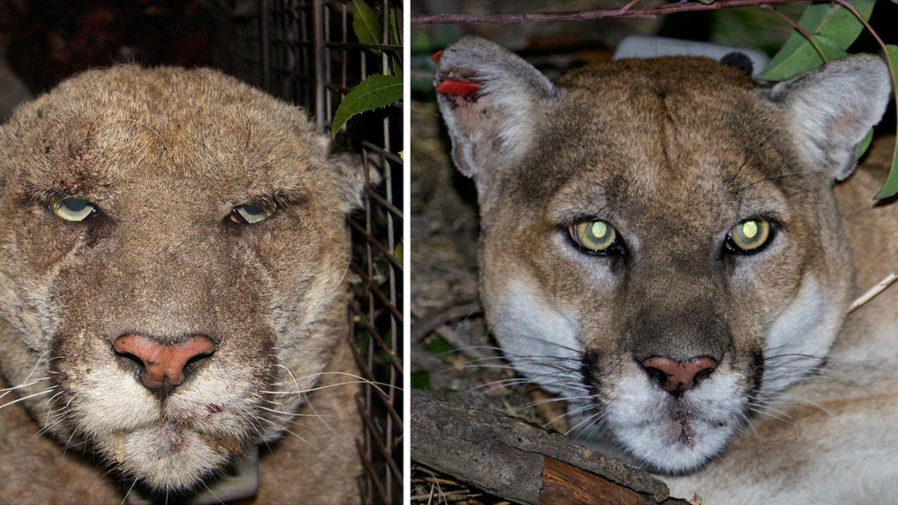 socal s famous mountain lion recovers from mange