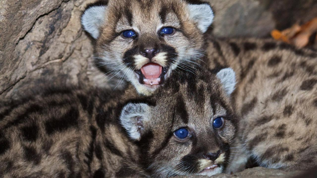 Mountain lion kittens P-46 and P-47 are shown above in their den.