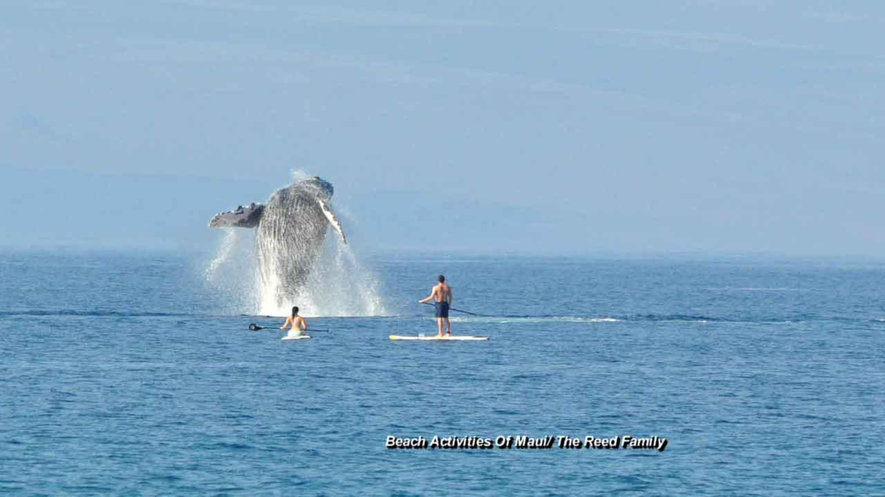 A breathtaking photo captures a whale jumping out of the ocean off the western coast of Maui, near a resort.