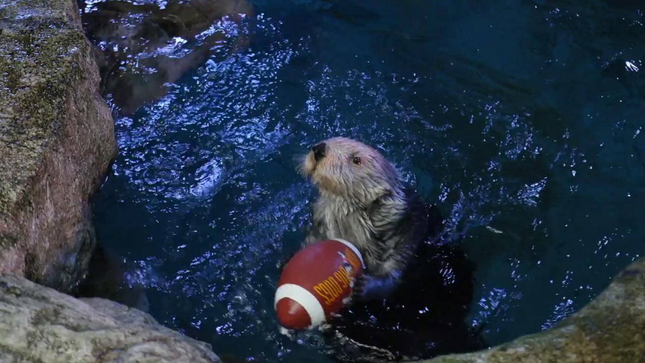 An otter at the Aquarium of the Pacific in Long Beach is shown holding a football.