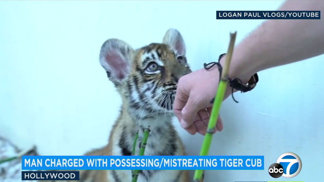 A tiger cub has made a full recovery after the animal was allegedly mistreated by a Studio City man.