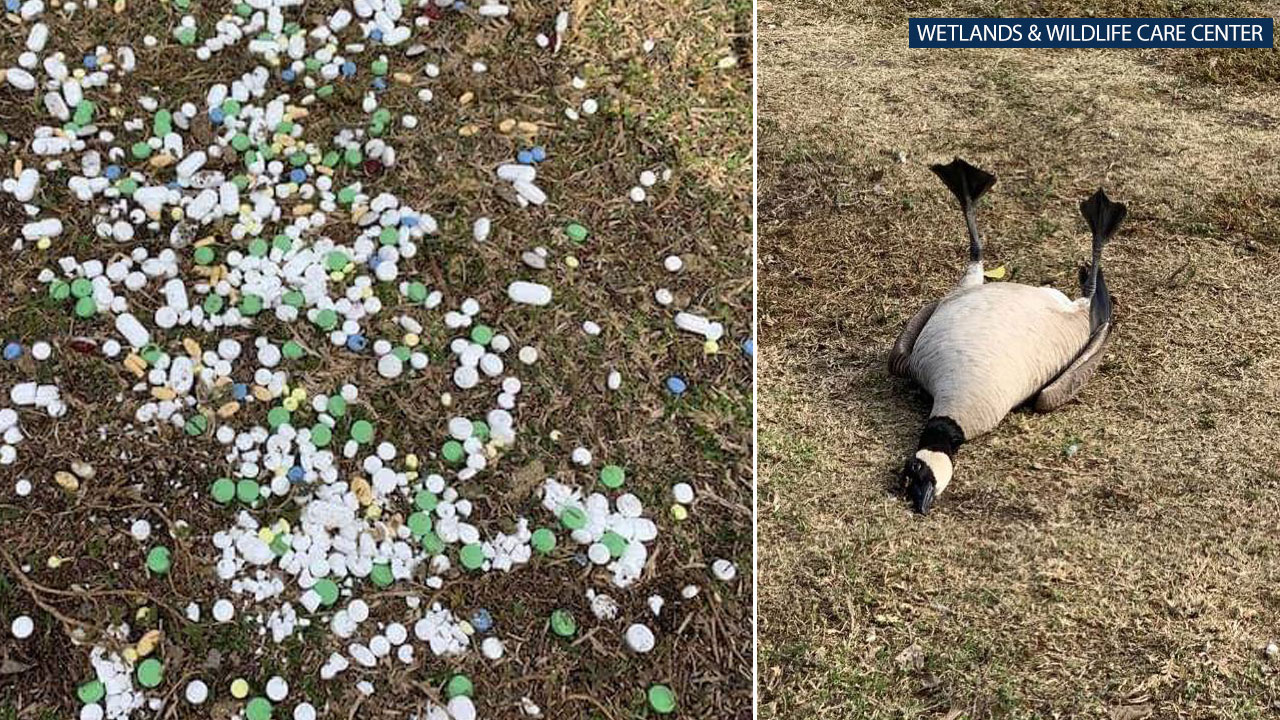 Photos posted by The Wetlands and Wildlife Care Center show pills on the grass at a Huntington Beach park and a goose that ingested some of them.