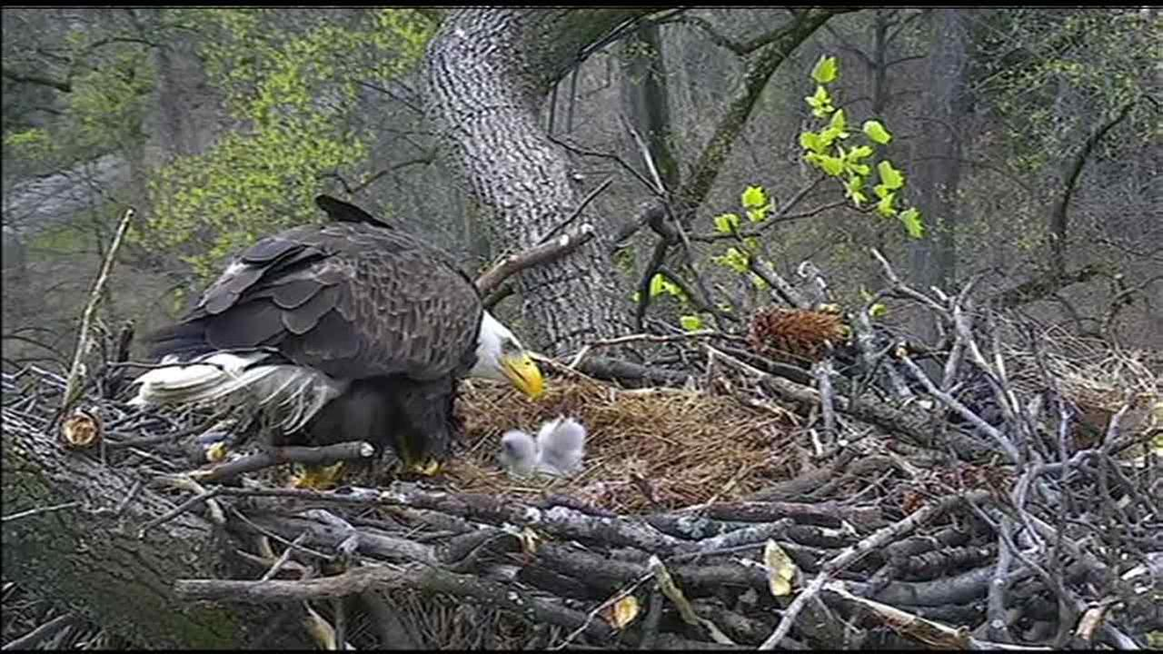 A new bald eagle parent feeds its two eaglets after they hatched just a day apart at the National Arboretum in Washington D.C. Sunday, March 20, 2016.