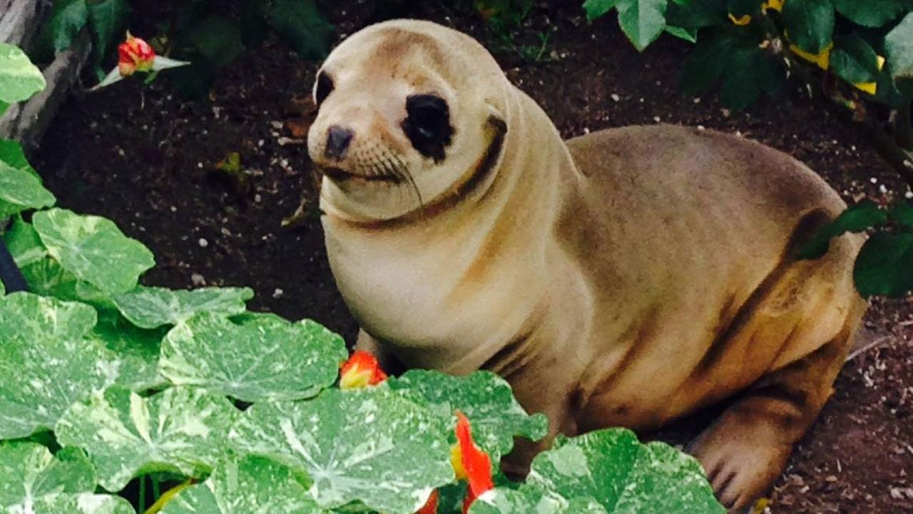 A sea lion pup turned up in a persons front yard at Silver Stand Beach in Oxnard on Sunday, March 20, 2016.