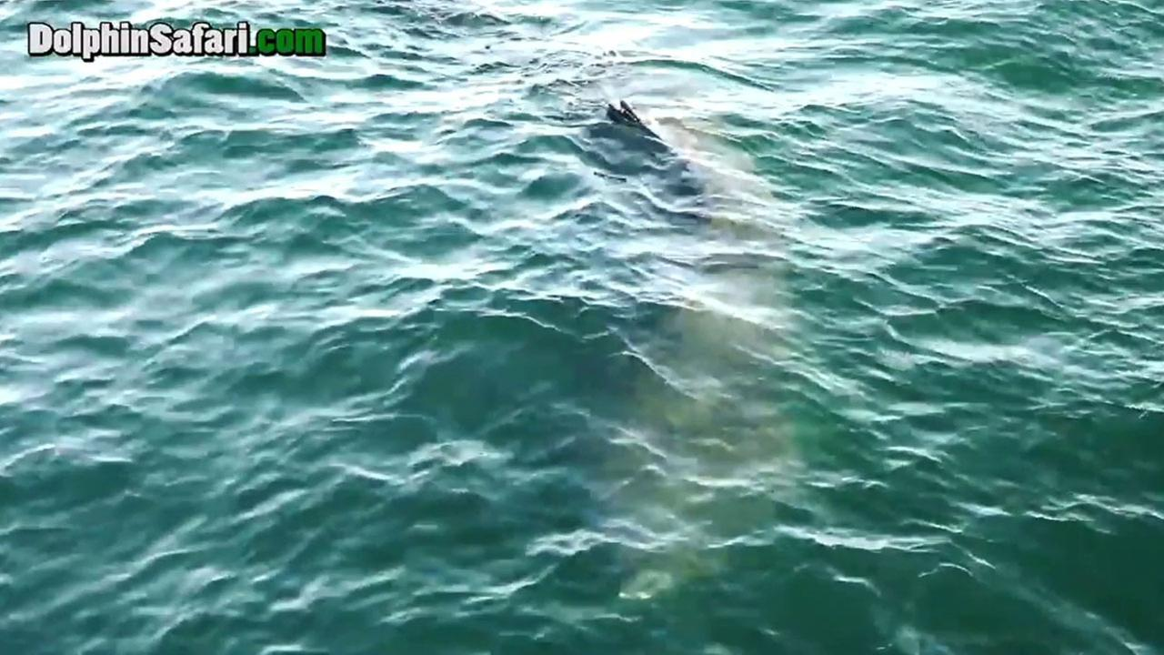 A basking shark is shown in footage captured by patrons on Capt. Daves Whale Watching boats on Friday, April 1, 2016.
