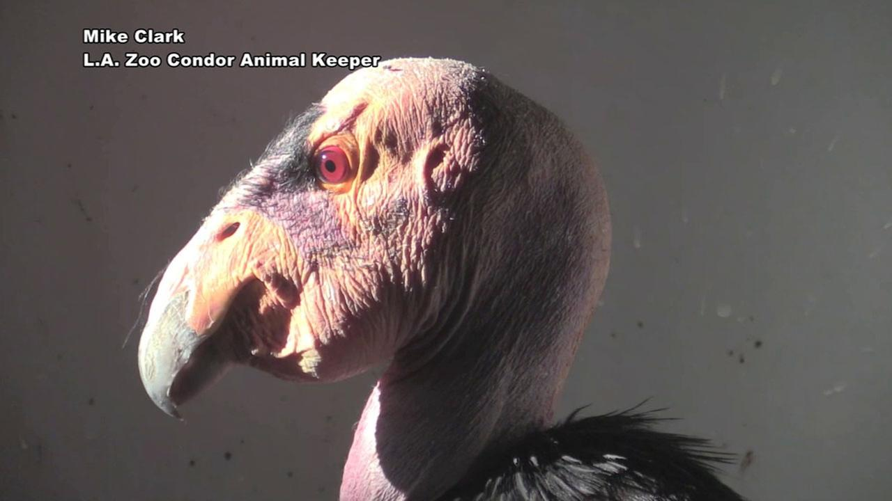 The nations oldest California condor, Topa-topa, is shown in an image from the Los Angeles Zoo.