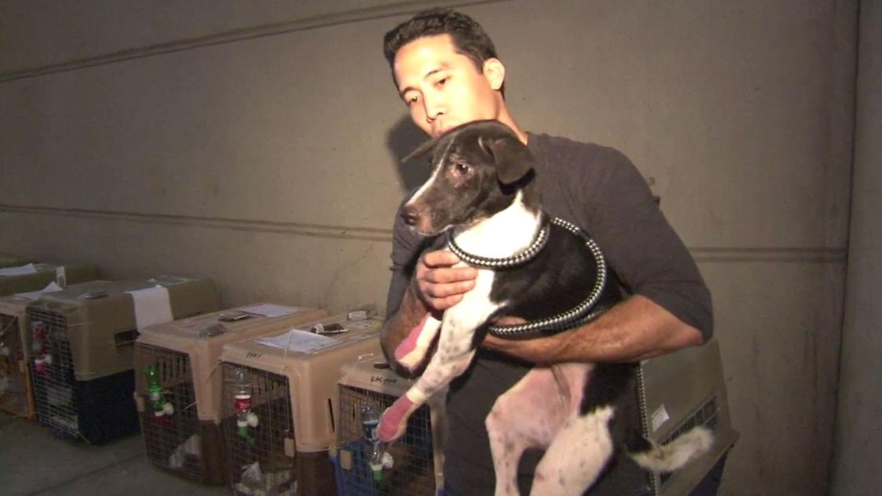 One of eight dogs rescued from Thailand is shown after it arrived at LAX on Thursday, April 21, 2016 to be rehabilitated and eventually adopted.