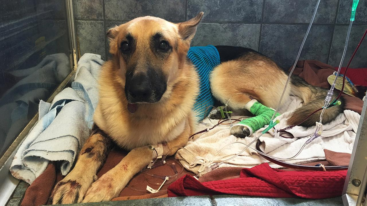 Haus, a German shepherd, recovers from a snake bite at Blue Pearl in Tampa, Fla., Friday, May 13, 2016.