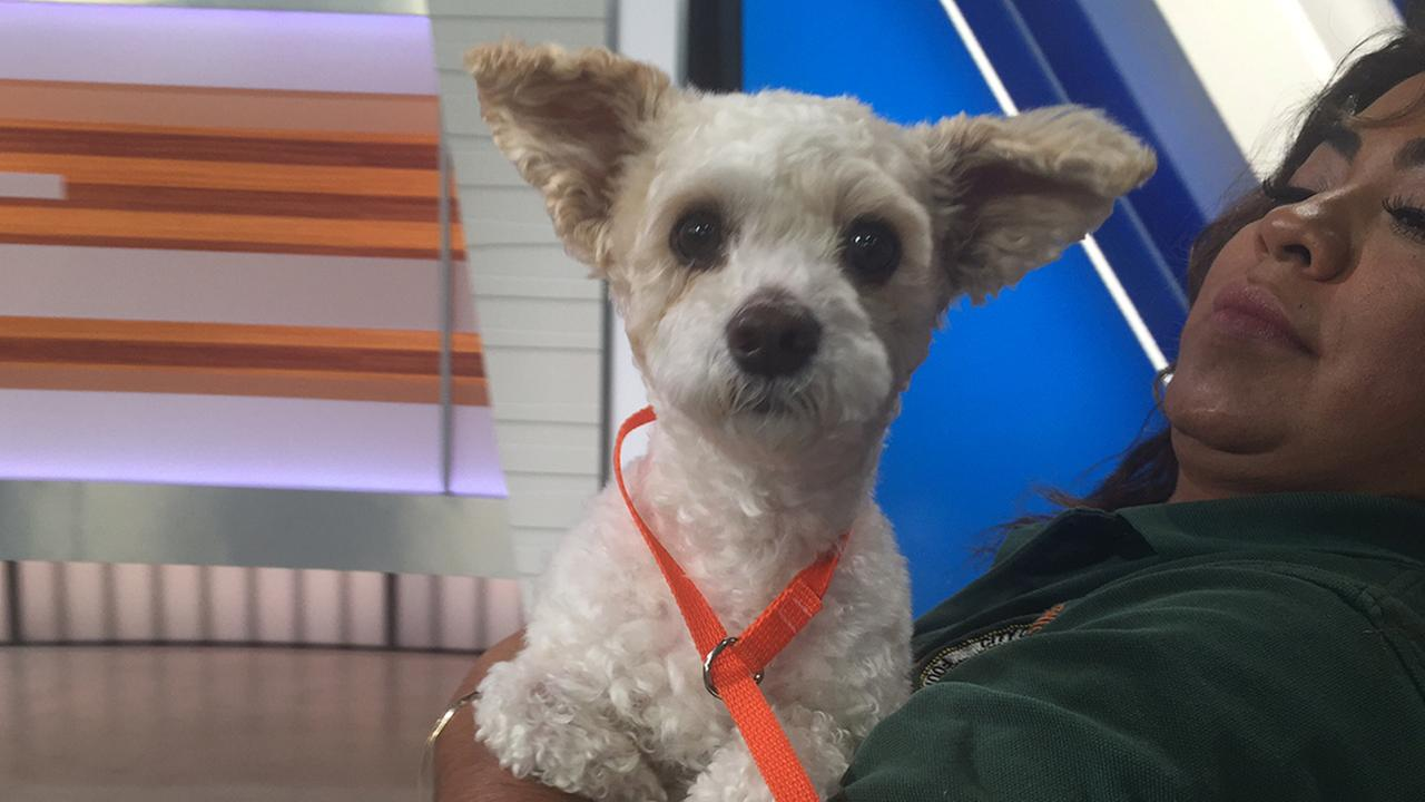Pet Of The Week 5 Year Old Poodle Mix Named Papi Abc7 Com