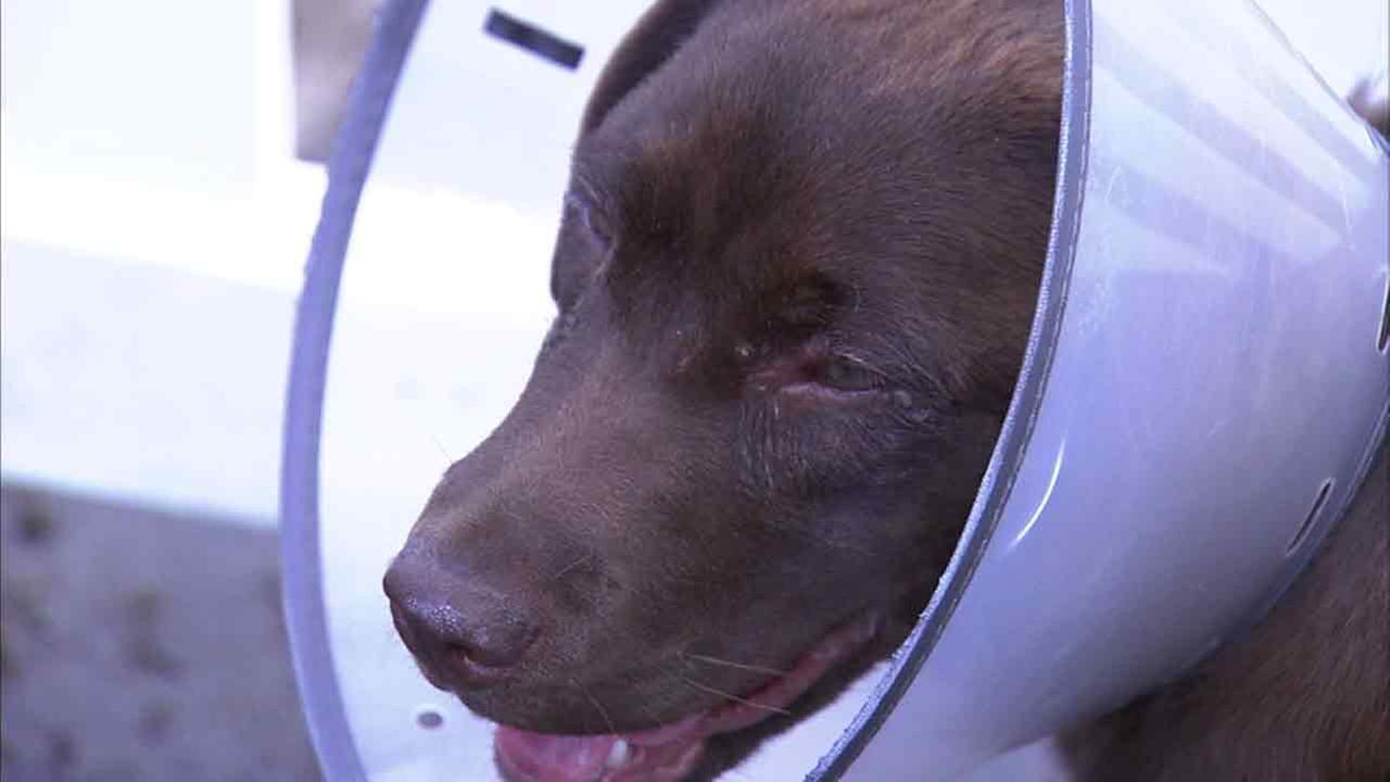 Chocolate lab Ellie is seen in recovery on Sunday, May 29, 2016, after being attacked by a swarm of bees in La Habra, Calif.
