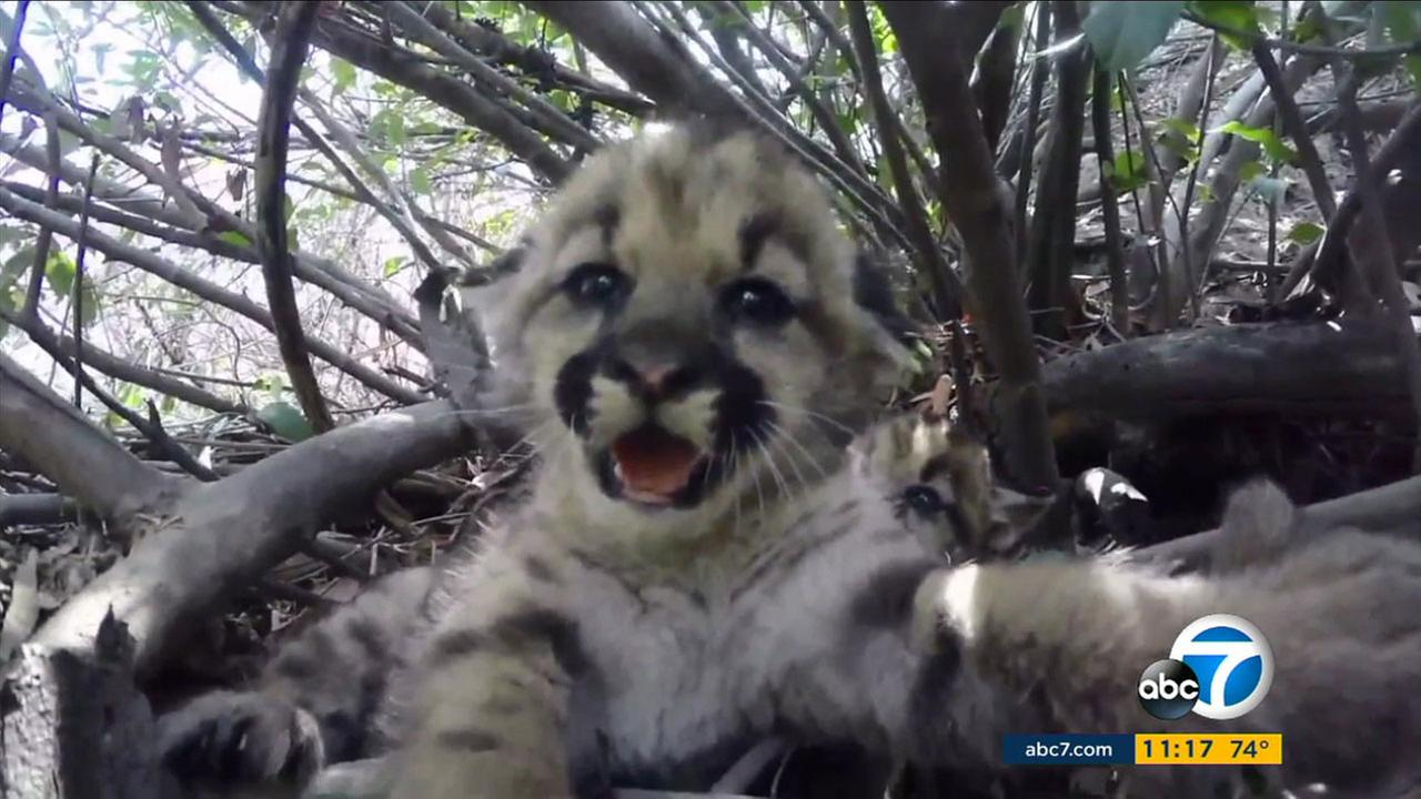 A newborn kitten was born in the Santa Susana Mountains.