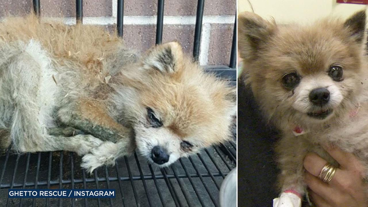 Fossie was found in the gutter, barely clinging to life. She was spotted by LAPD officers and brought back to health with the help of the non-profit, Ghetto Rescue Ffoundation.