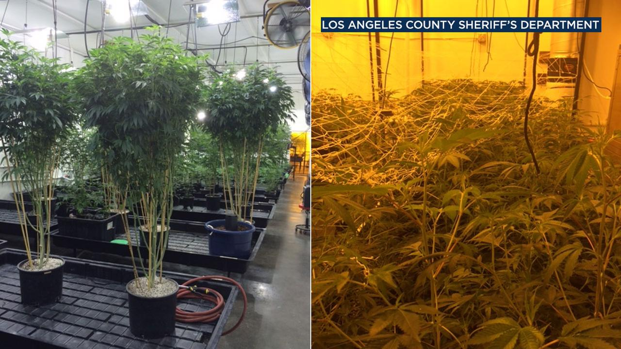 Seized marijuana plants from Compton are seen in photos released by the Los Angeles County Sheriffs Department.