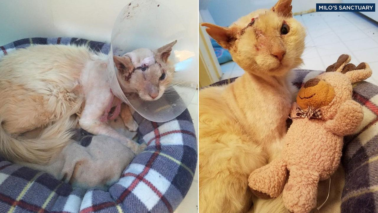 Tommy the cat is shown after his eye removal surgery on the left and during his recover as he cuddles with a toy on the right.