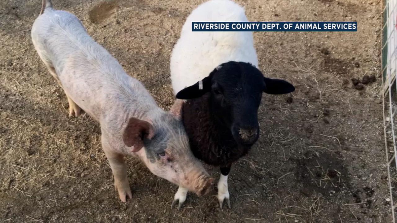 A pig and sheep share an inseparable bond at an animal shelter in Riverside County.