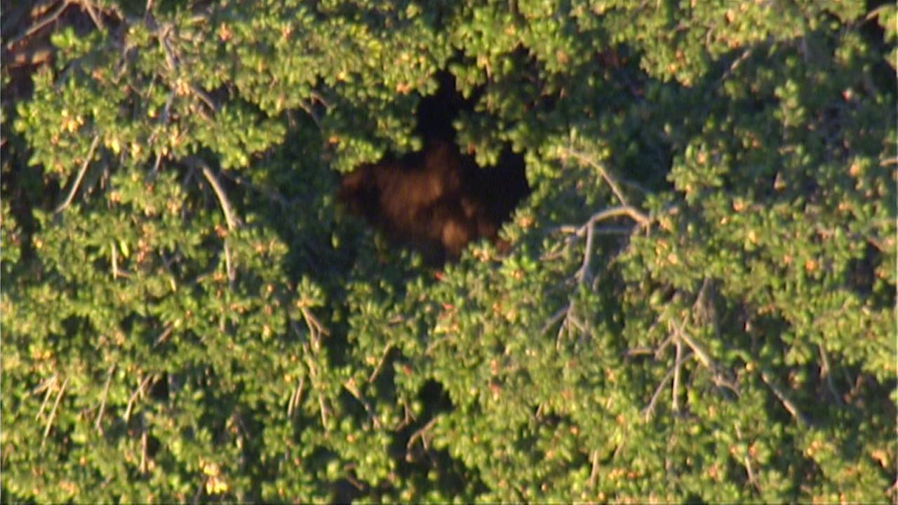 A large bear was spotted in a backyard in the 5000 block of Humphrey in La Crescenta on Friday, Nov. 11, 2016.