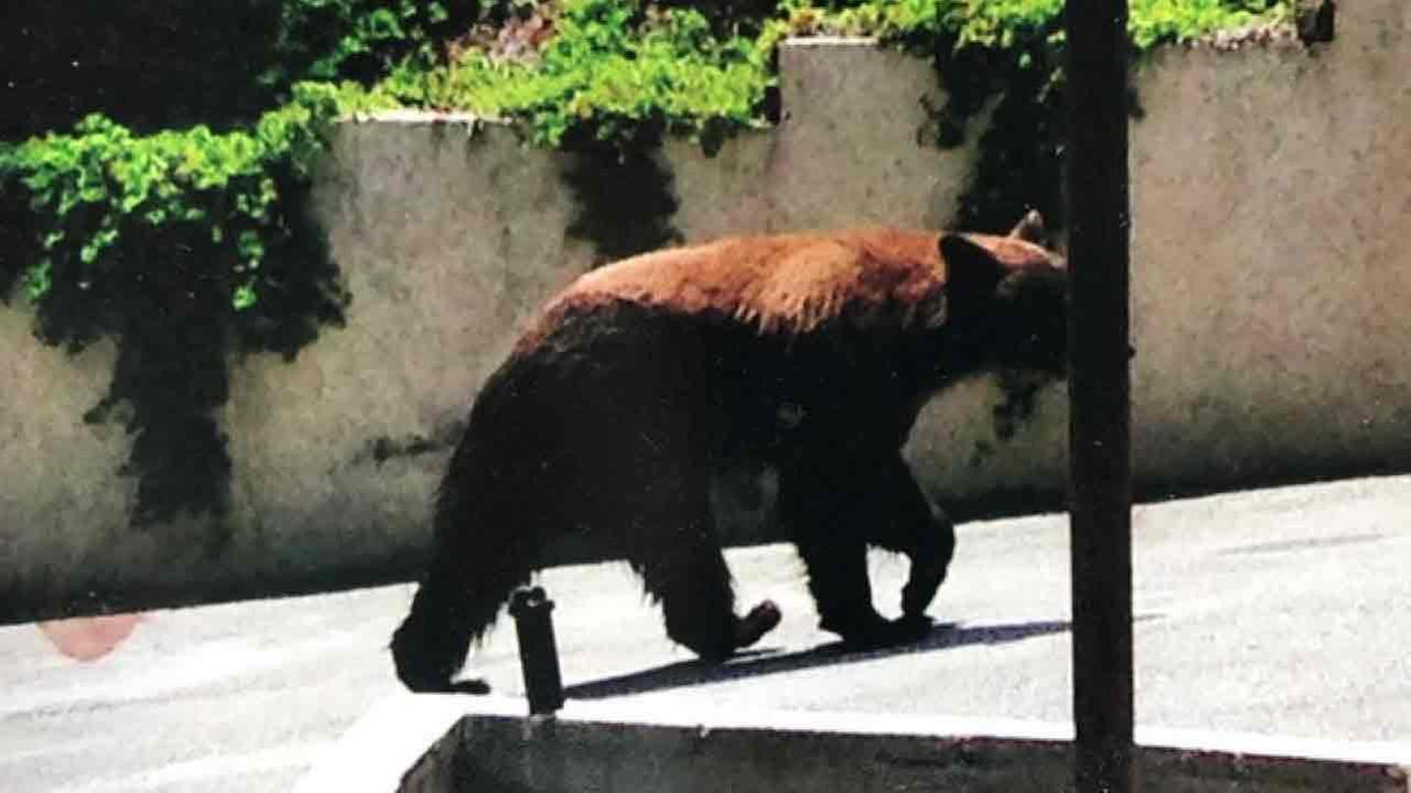 An undated image of a bear one resident said has been roaming around the Live Oak Canyon area of La Verne.