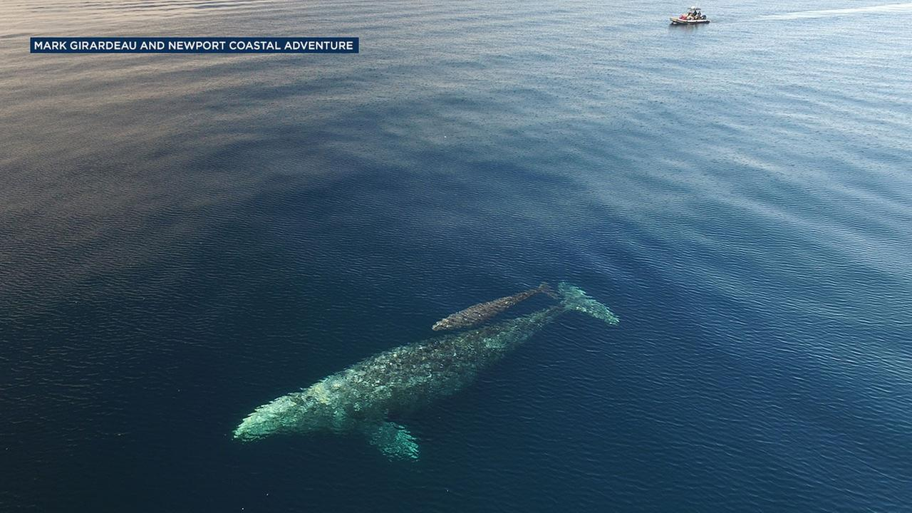 A baby gray whale and its mother were spotted gliding under a boat off the coast of Laguna Beach on Sunday, Jan. 8, 2017.