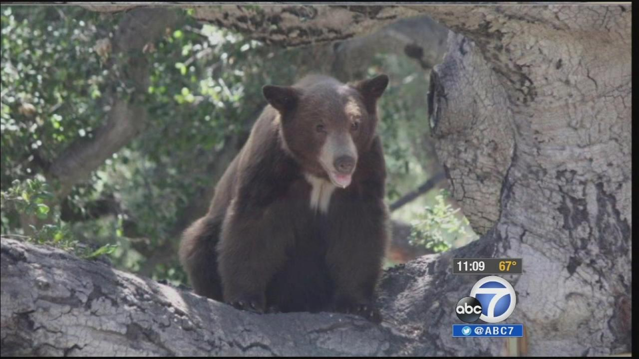 A family in Bradbury discovered a black bear napping in their oak tree Wednesday, July 9, 2014.