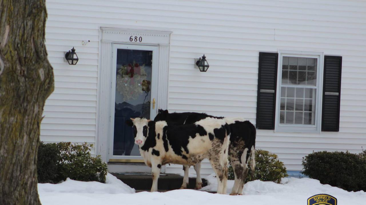 Authorities released a photo of two cows that were found outside a Connecticut home after they escaped from a pen on Saturday, Feb. 18, 2017.