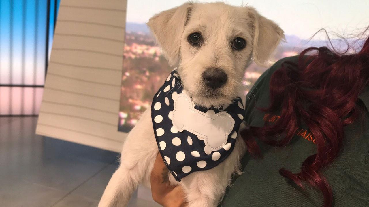 Our ABC7 Pet of the Week is Leah, a 2-month-old terrior mix. Please give her a good home!