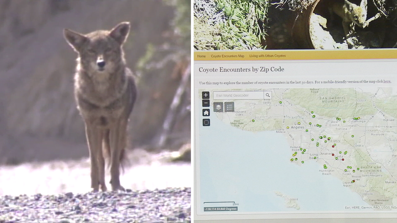 An increase in coyote encounters has led researchers to launch a website for the public to report sightings.