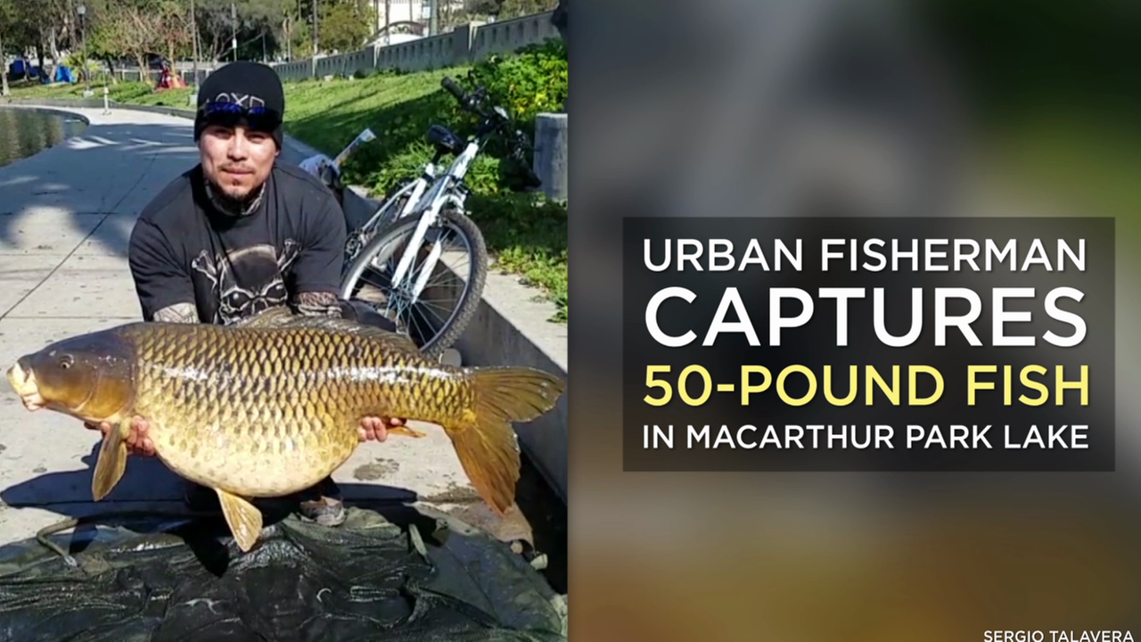 An urban fisherman netted a whopping a 50-pound fish this week in MacArthur Park Lake.