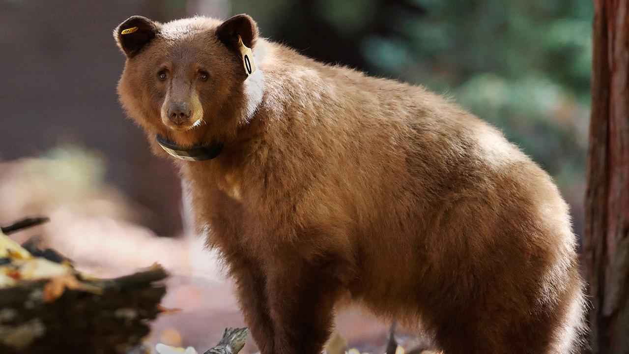This Nov. 1, 2016 photo provided by Drew Wharton shows a female black bear wearing GPS collar in Yosemite National Park.