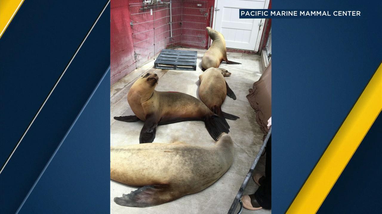 Sick female sea lions are shown at the Pacific Marine Mammal Center in Laguna Beach.