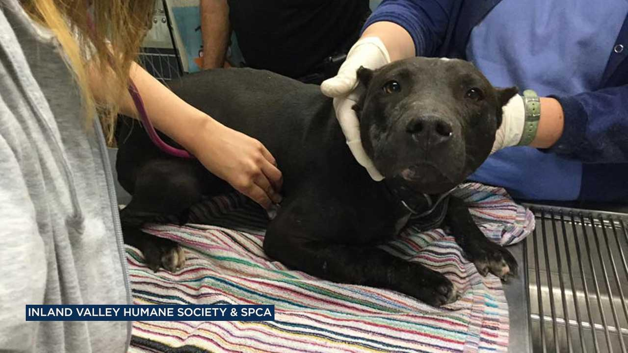 One of 20 dogs found at an Ontario property is seen in this photo from the Inland Valley Humane Society and SPCA.
