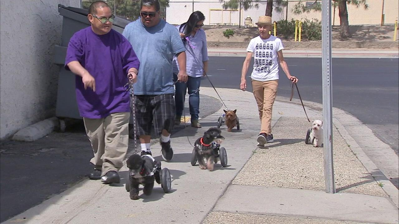 Dogs with disabilities are being trained to work as therapy animals for people with disabilities by a Torrance organization.