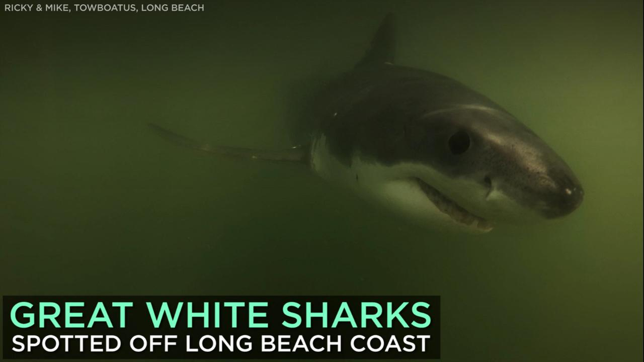 Great white sharks were caught on camera by two tugboats sailors who spotted the curious beasts near their boat off the coast of Long Beach.