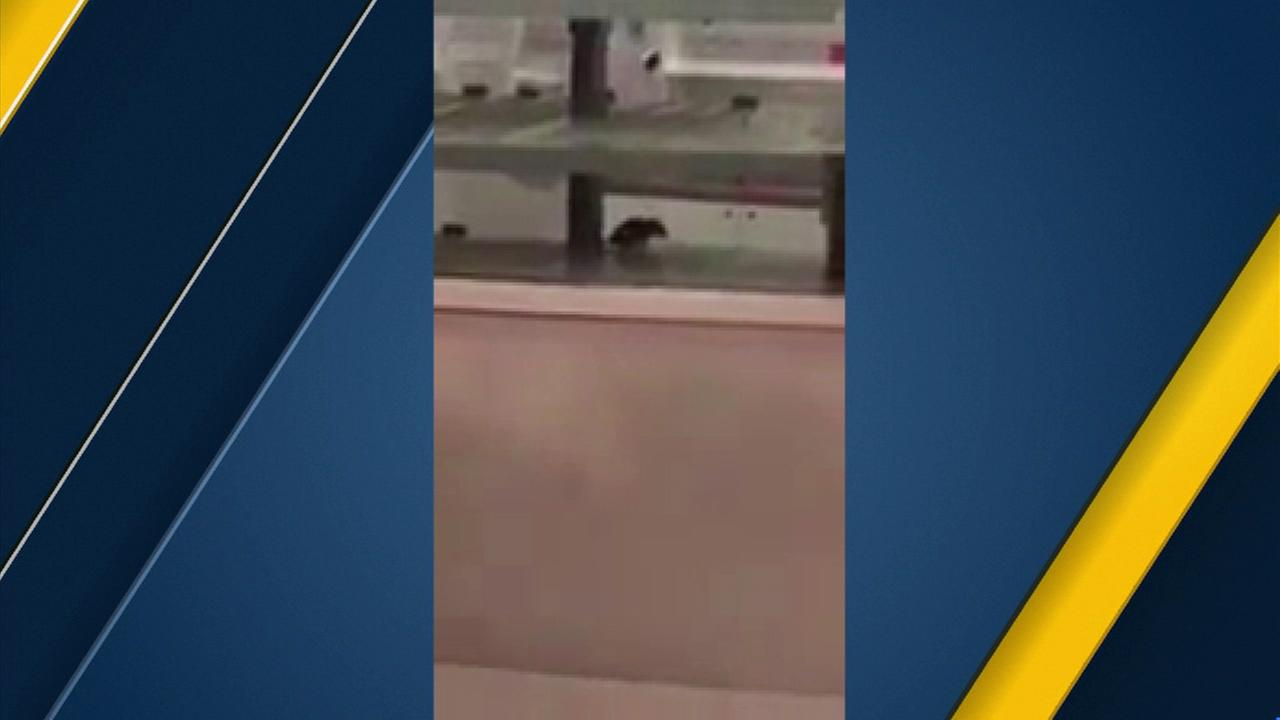Video posted on YouTube shows a rat inside the display case of a Sprinkles Cupcakes store in Glendale.