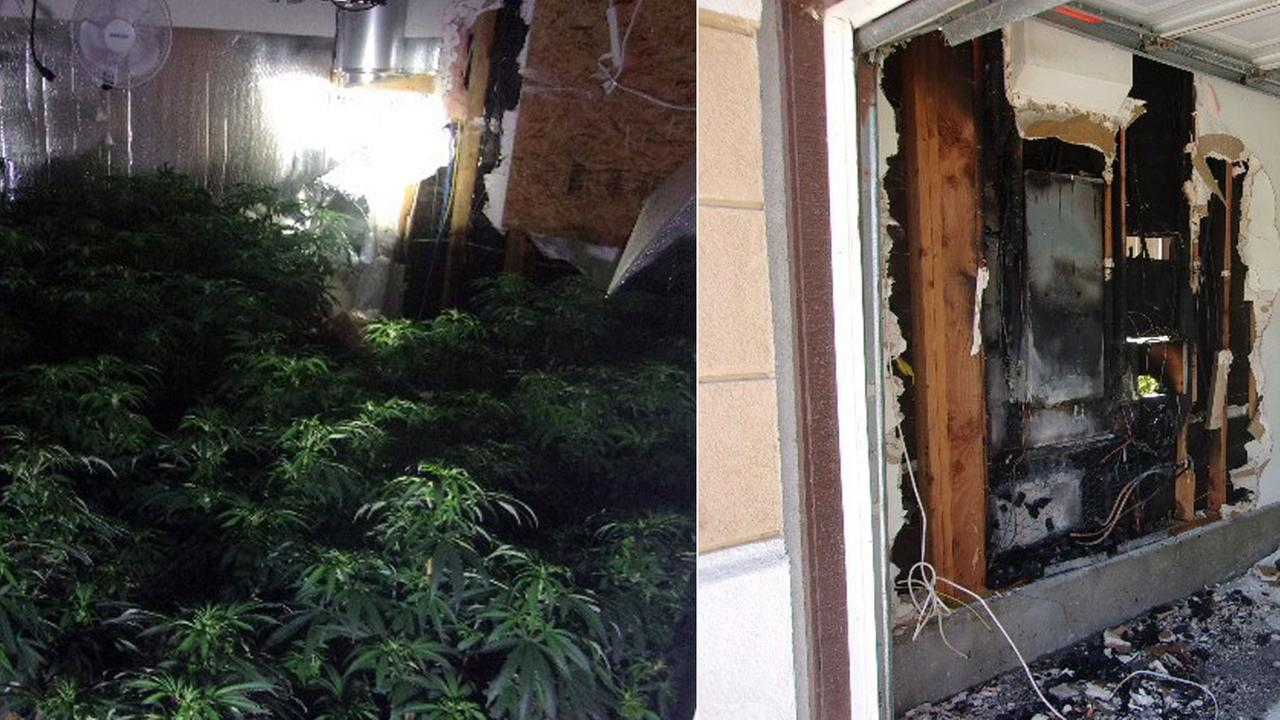 Marijuana plants found inside a Rancho Cucamonga house after authorities responded to a fire at the home on Sunday, July 2, 2017.