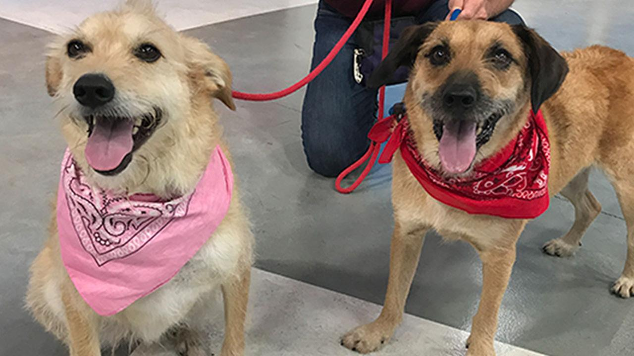 Our ABC7 Pets of the Week are Izzy and Buster, a bonded pair of terrier mixes who should be adopted together. Please give them a good home!