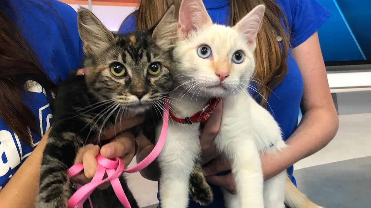 Java (left, ID 17-05821) and Klaus (right, ID 17-06115) are available for adoption from the spcaLA South Bay in Hawthorne.