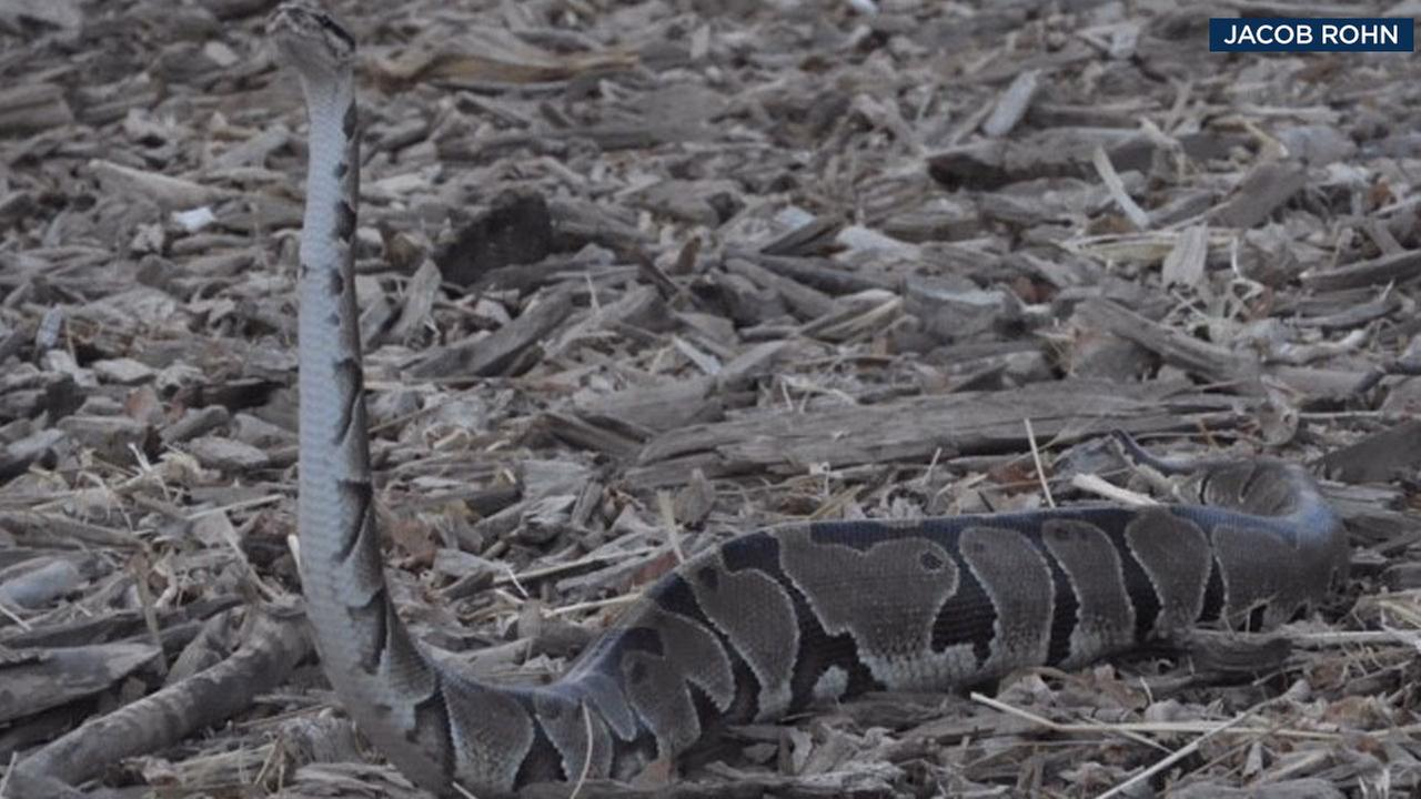 An ABC7 viewer captured photos of a python on the loose at the entrance of Runyon Canyon on Saturday, Aug. 19, 2017.