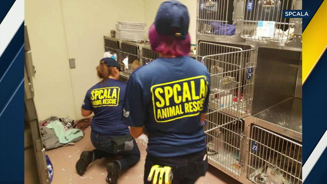 Local members of the SPCALA are in Houston helping to care for post-surgery animals affected by Hurricane Harvey.