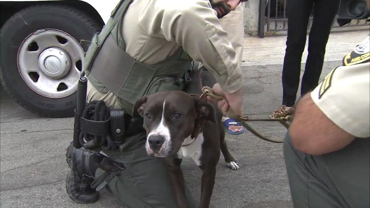 A pit bull who was thrown off a cliffside in City Terrace twice is shown in a file photo where she was taken by animal control officers.