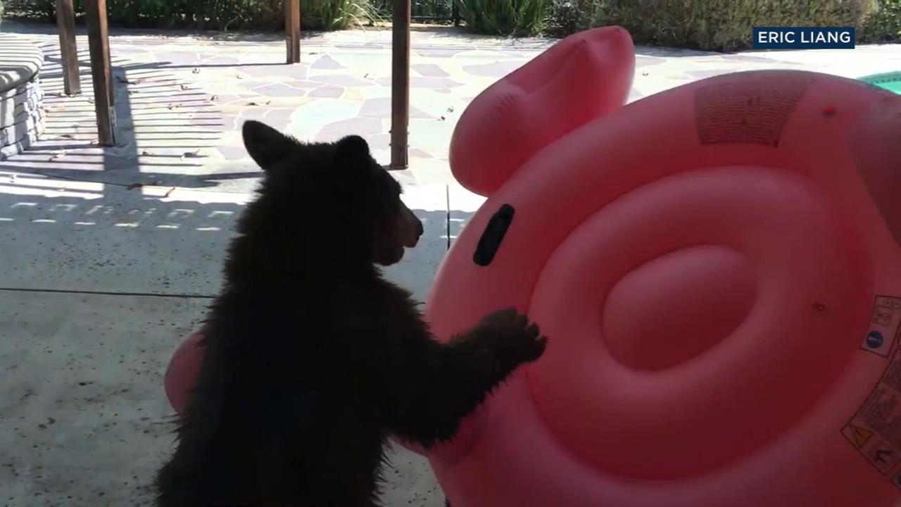 A bear cub rests on top of an inflatable flamingo pool toy as it took a quick break from wrestling with it in an Arcadia familys backyard.